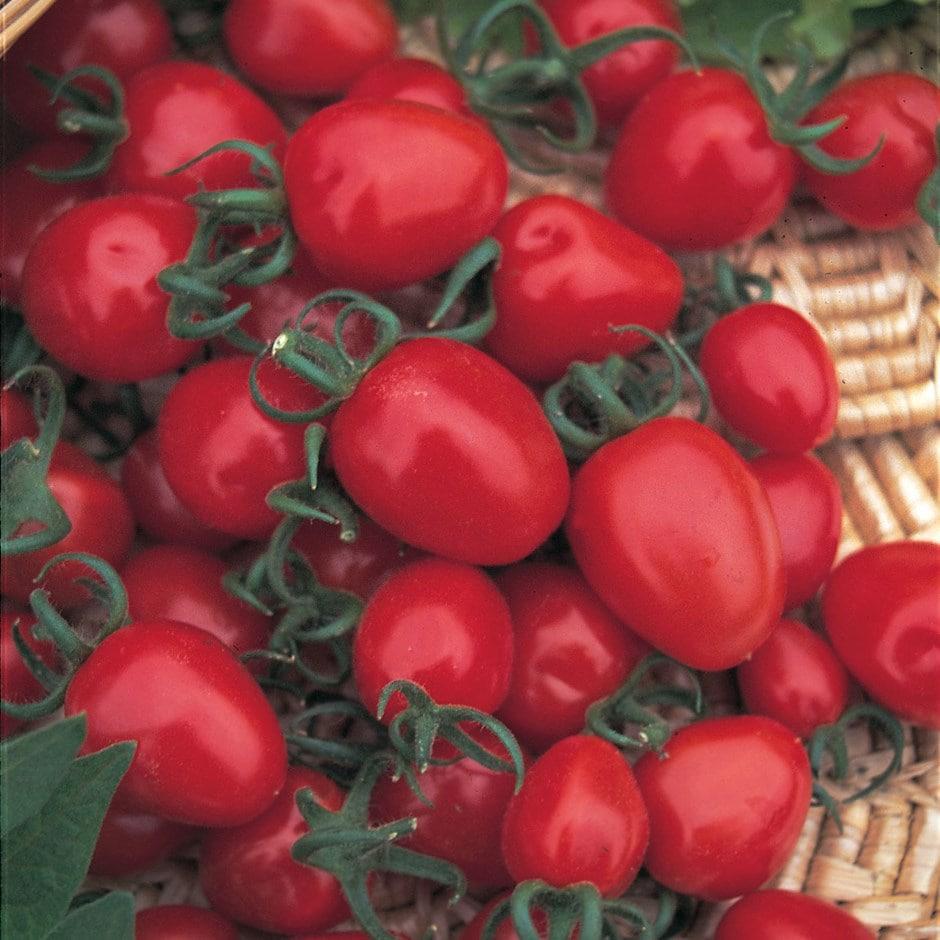 cherry tomato  / Solanum lycopersicum'Red Alert'