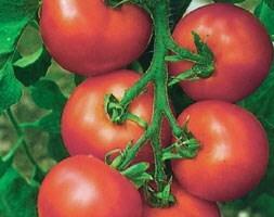 tomato Alicante