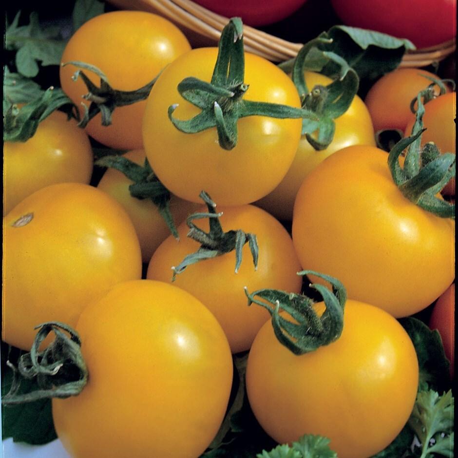 tomato / Solanum lycopersicum'Golden Sunrise'