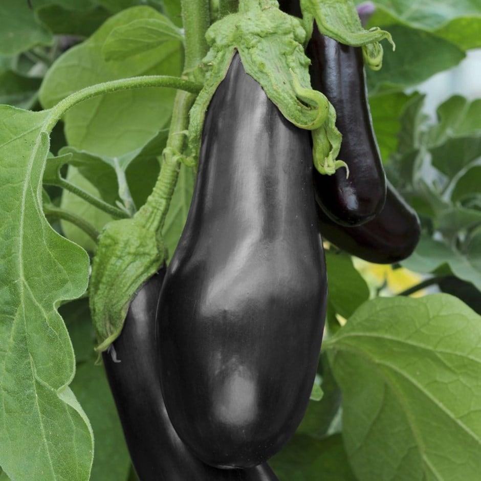 egg plant / Solanum melongena 'Black Beauty'