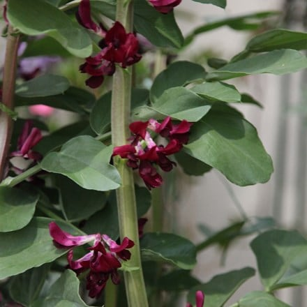 broad bean crimson-flowered