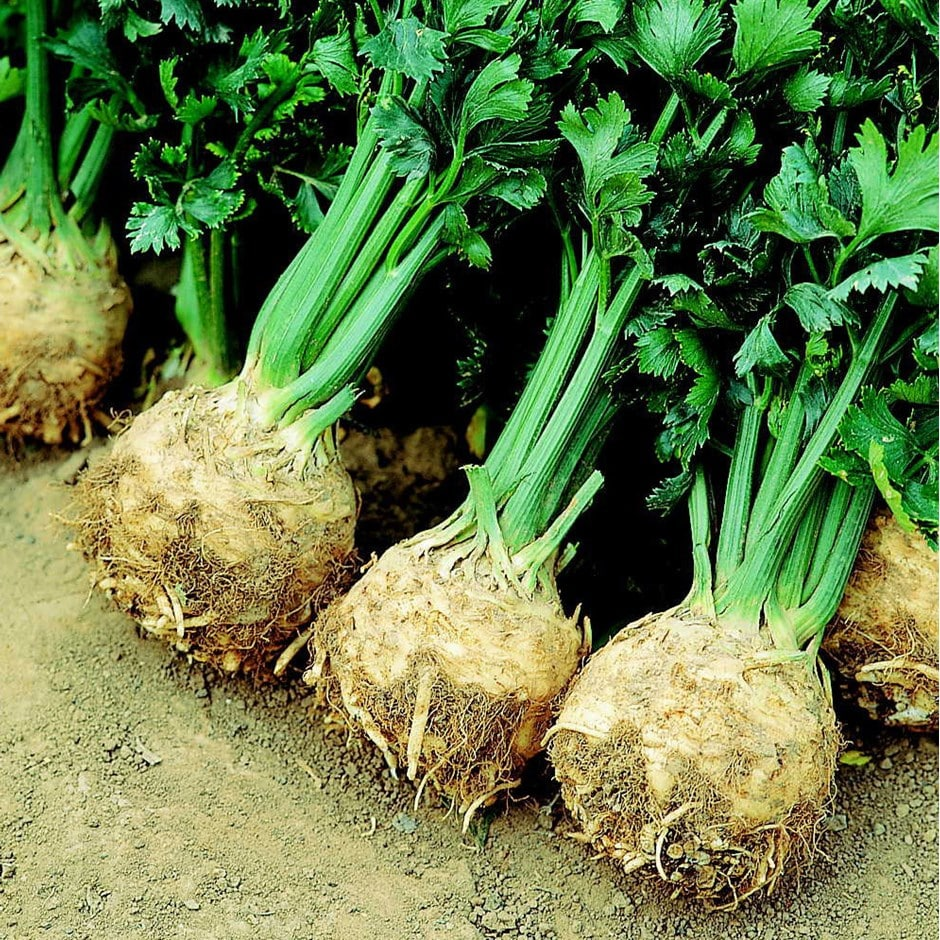 celeriac / Apium graveolens var. rapaceum 'Prinz'