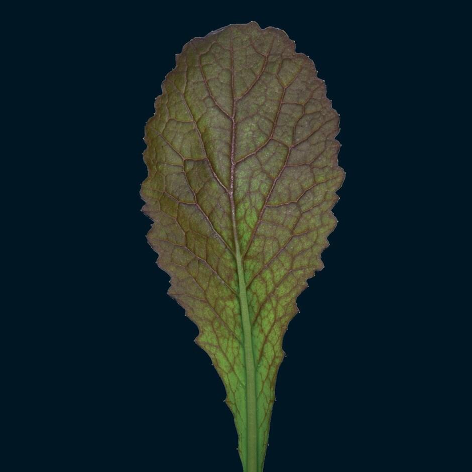 mustard / Brassica juncea 'Red Giant'
