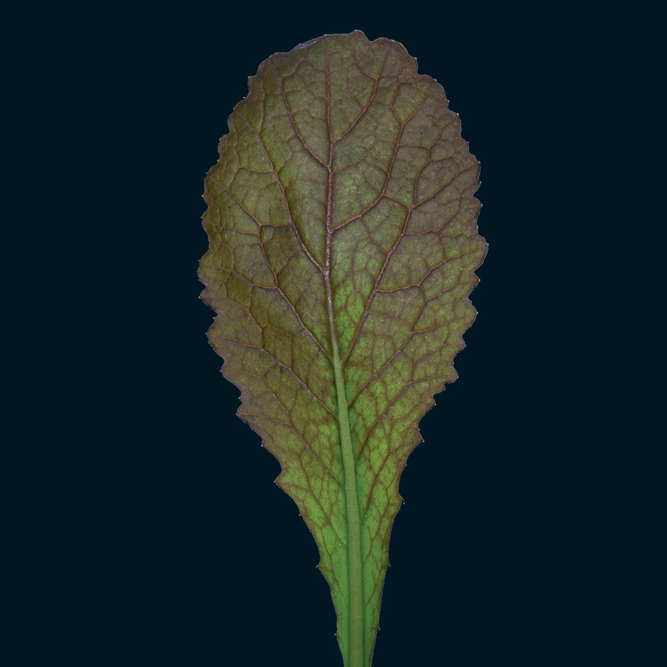 mustard or Brassica juncea 'Red Giant'