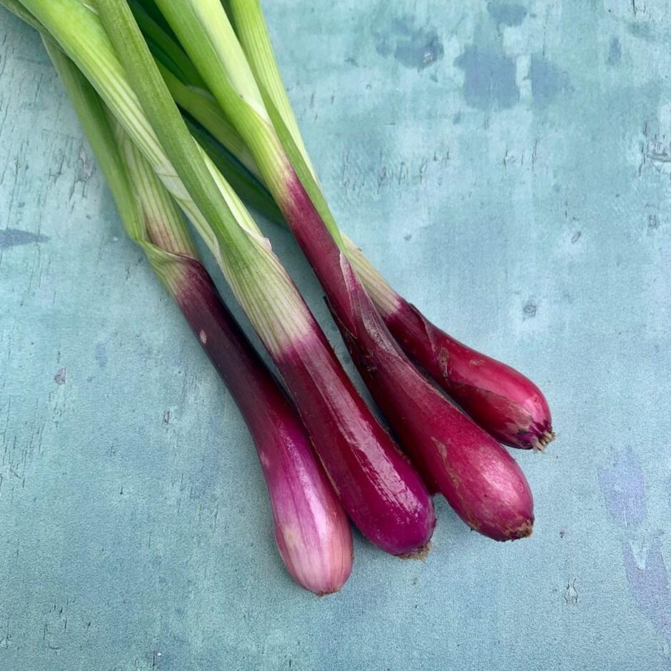 spring onion / Allium cepa 'North Holland Blood Red'