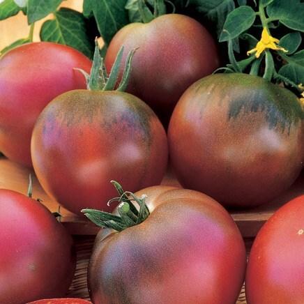 tomato /  Solanum lycopersicum 'Black Russian'