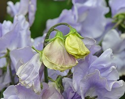 Lathyrus odoratus Charlie's Angel  (Charlies Angel)