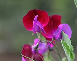 spencer sweet pea seed