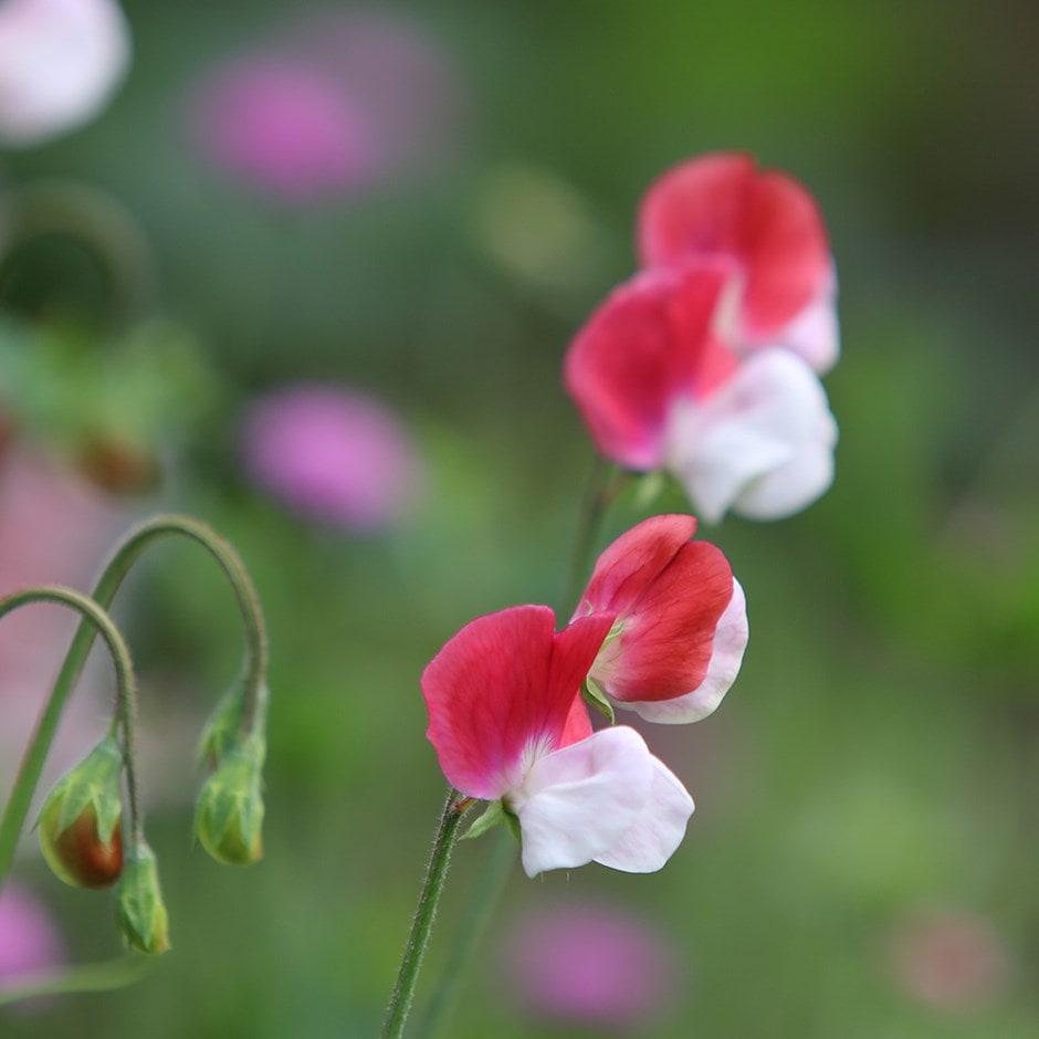 grandiflora sweet pea seed