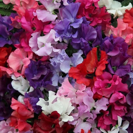 Lathyrus odoratus Spencer Waved Mix