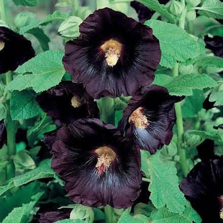Alcea rosea Nigra
