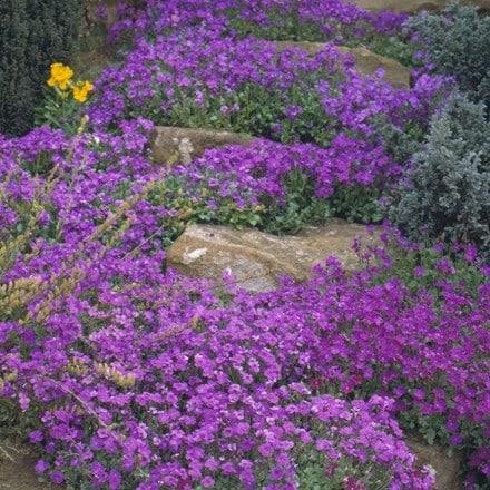 Aubrietia Purple Cascade (Cascade Series)