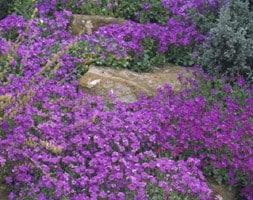 Aubretia 'Purple Cascade' (Cascade Series)