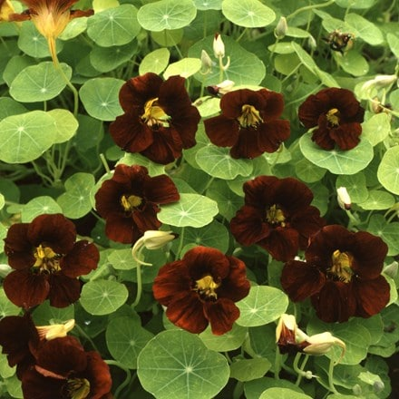 Tropaeolum majus Black Velvet (Tom Thumb Series)