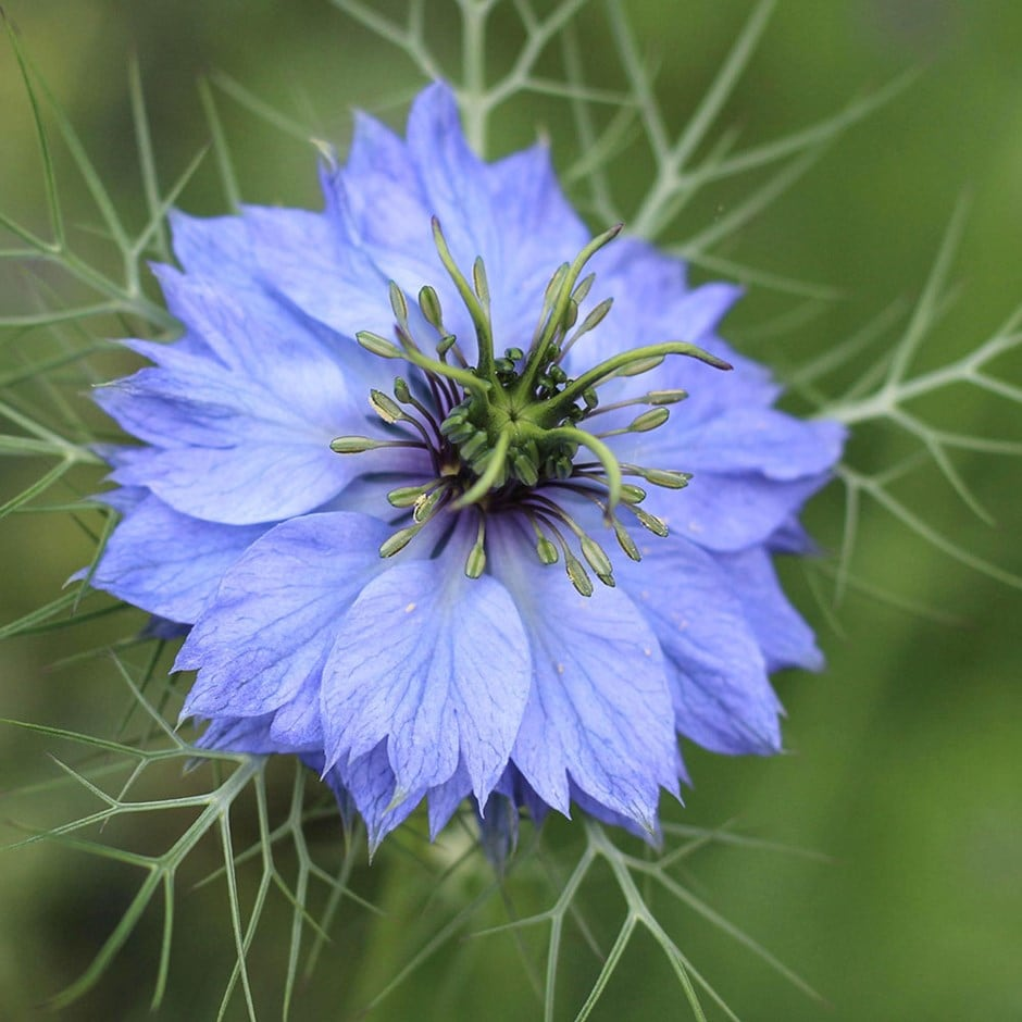 Buy love-in-a-mist Nigella damascena Miss Jekyll: £2.29 Delivery ...
