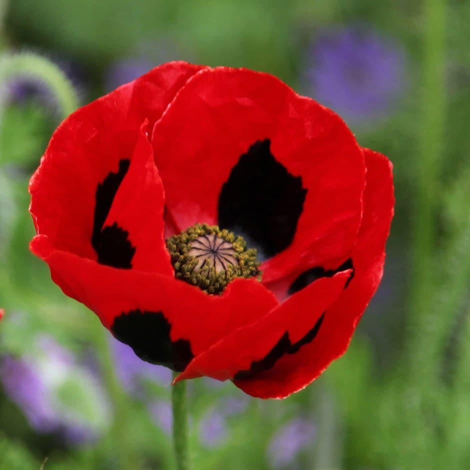 Caucasian scarlet poppy