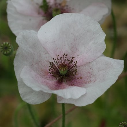 Papaver rhoeas Mother of Pearl Group