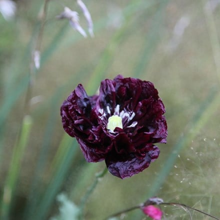 Papaver somniferum (Paeoniiflorum Group) Black Paeony