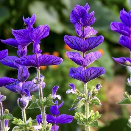 Salvia viridis Blue