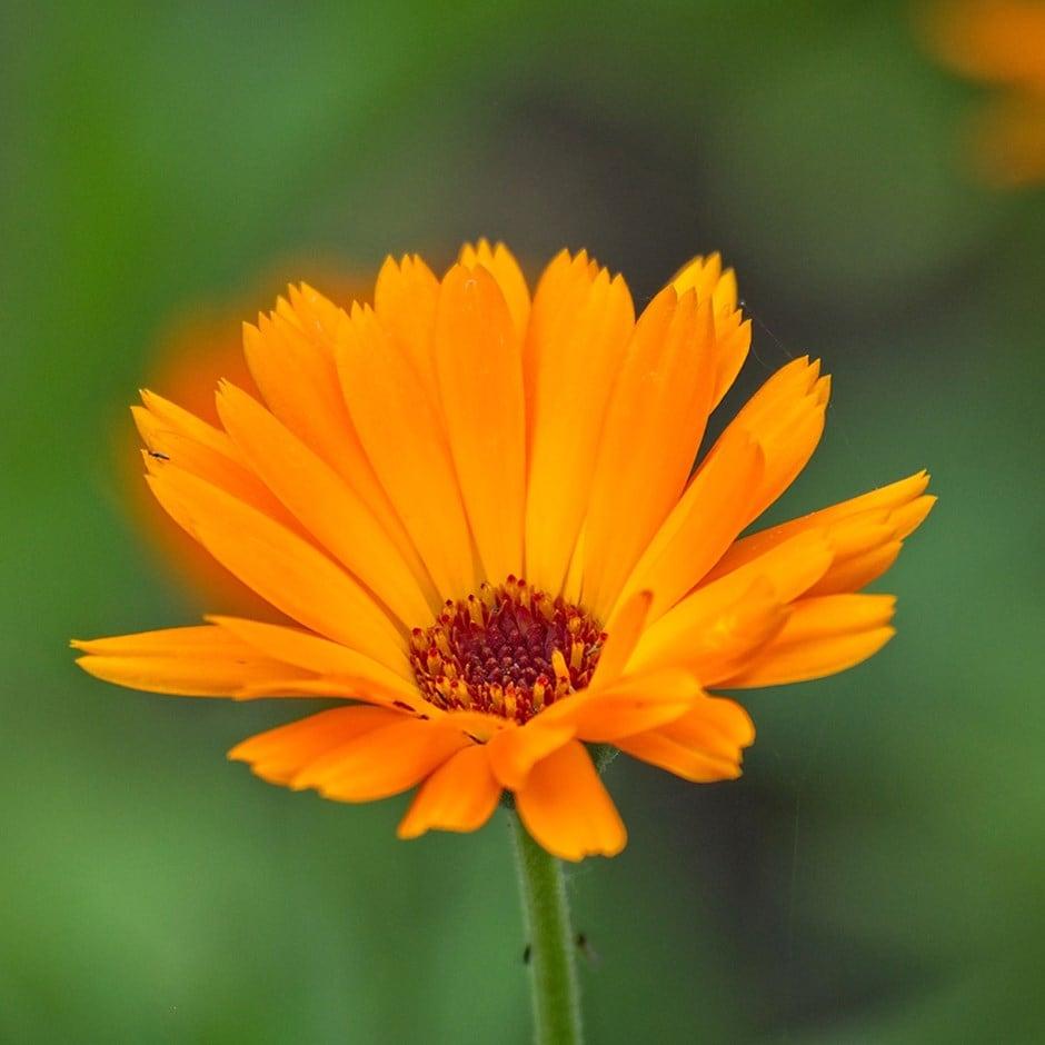 Buy Pot Marigold Calendula Officinalis 163 2 49 Delivery By