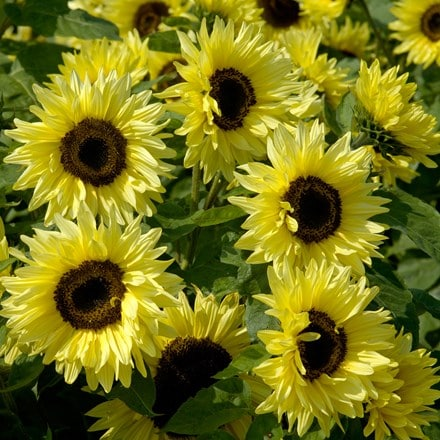 Helianthus annuus Garden Statement