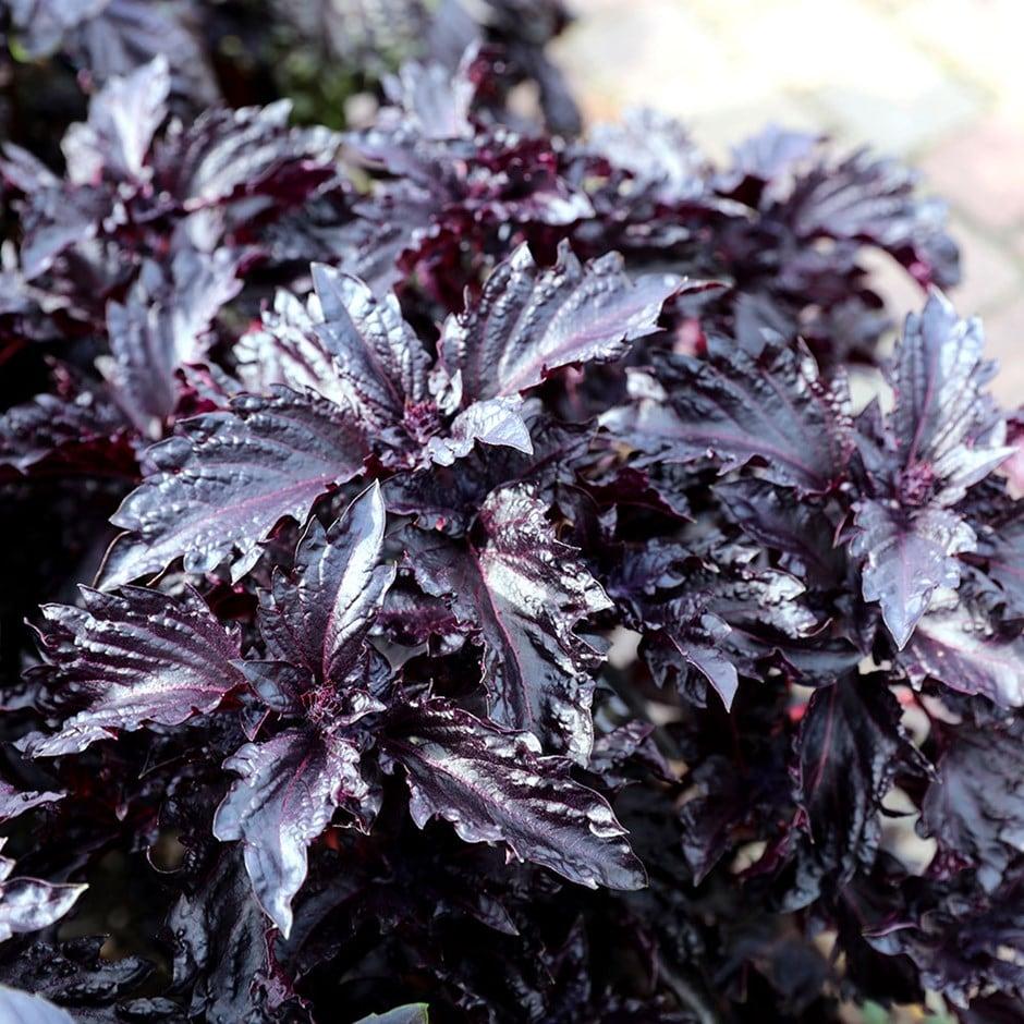 basil / Ocimum basilicum var. purpurascens 'Purple Ruffles'
