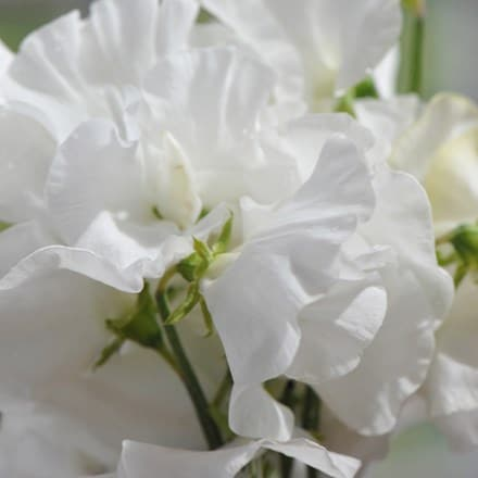 Lathyrus odoratus White Frills