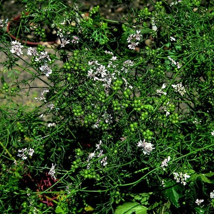 Coriandrum sativum Leisure