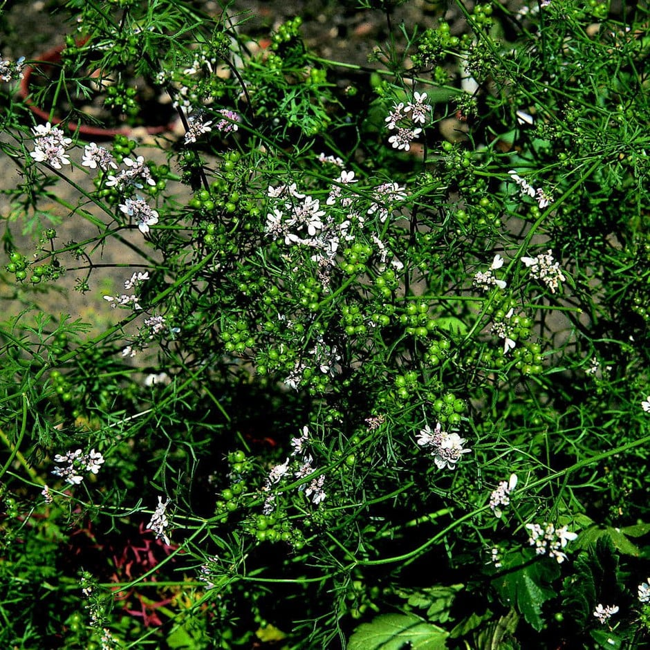coriander or Coriandrum sativum 'Leisure'
