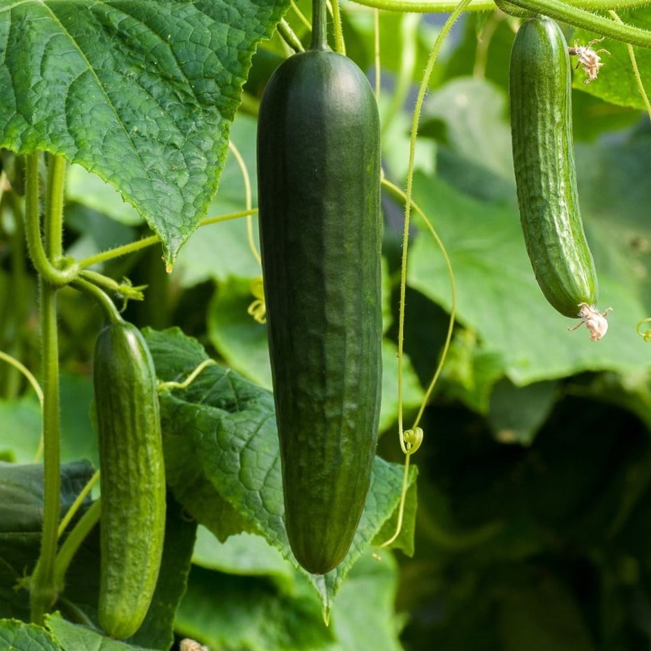 cucumber / Cucumis sativus 'Burpless Tasty Green'