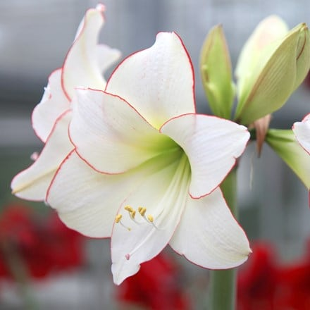 Hippeastrum (Diamond Group) Picotee
