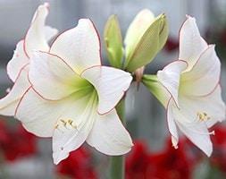 amaryllis Picotee bulb
