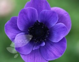 anemone bulbs ( syn Mister / Mr Fokker )
