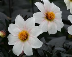 single-flowered dahlia tuber