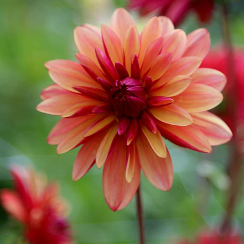 double orchid flowered dahlia tuber