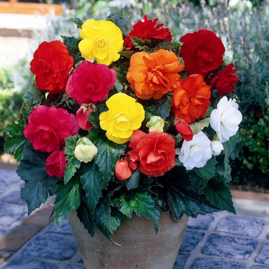 Buy Begonia Bulbs Begonia Mixed Doubles 163 3 99 Delivery By