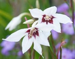 Abyssinian gladiolus (syn acidanthera or callianthus )