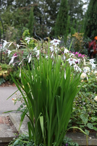 Buy Abyssinian Gladiolus Syn Acidanthera Or Callianthus