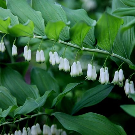 Polygonatum × hybridum