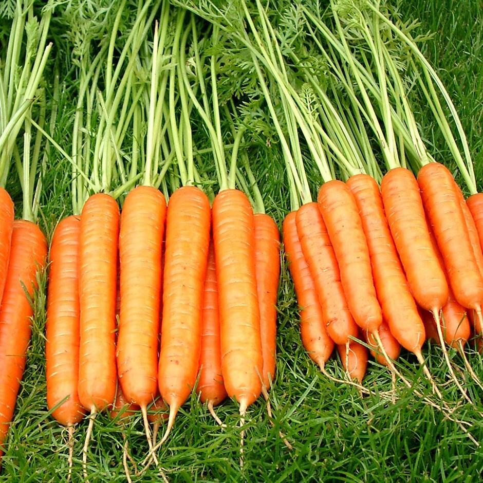 carrot / Daucus carota 'Sweet Candle' F1
