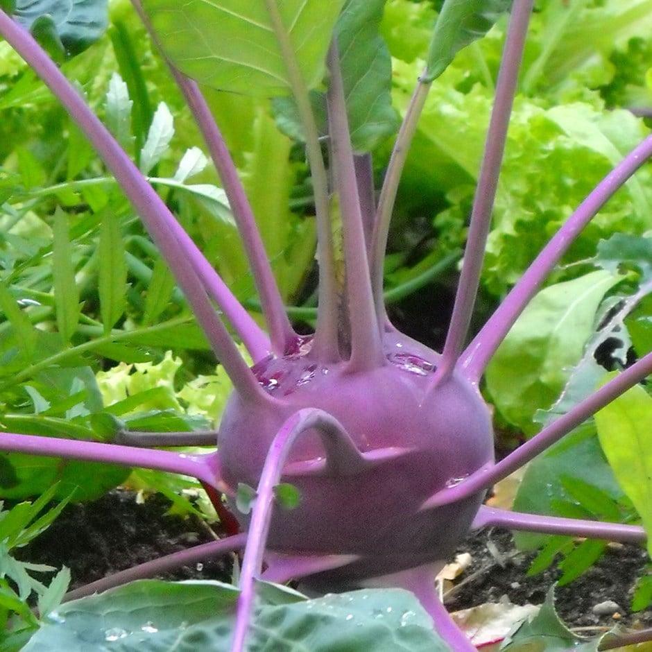 kohl rabi / Brassica oleracea (Gongylodes Group)