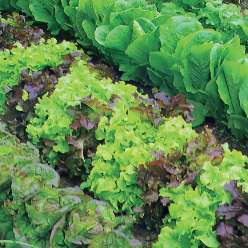 mixed lettuce / Lactuca sativa 'Mixed'