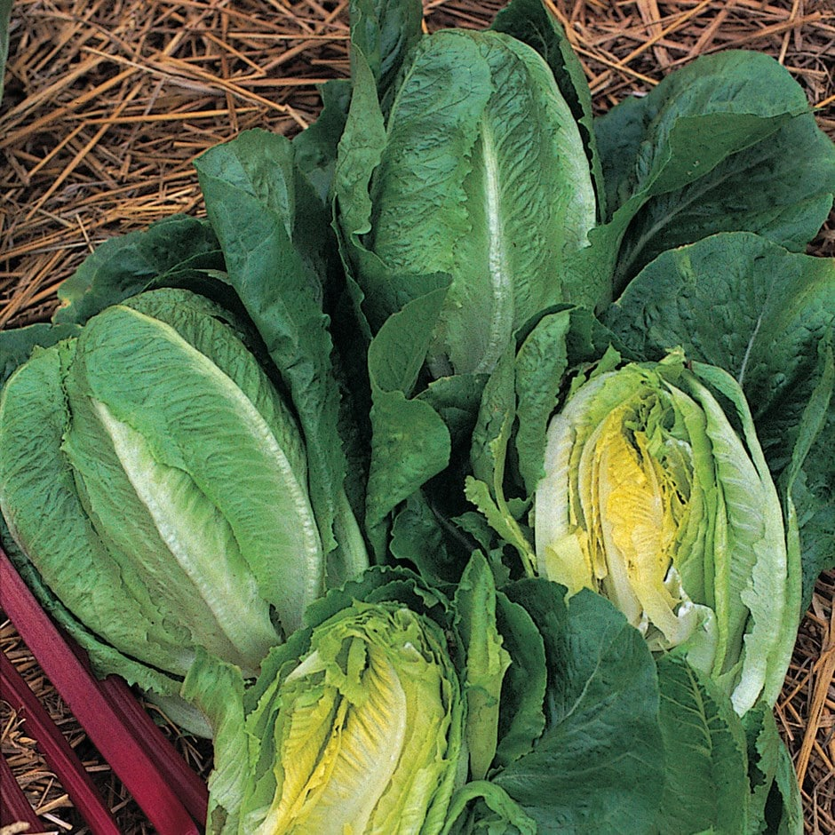 lettuce (cos) / Lactuca sativa 'Little Gem'