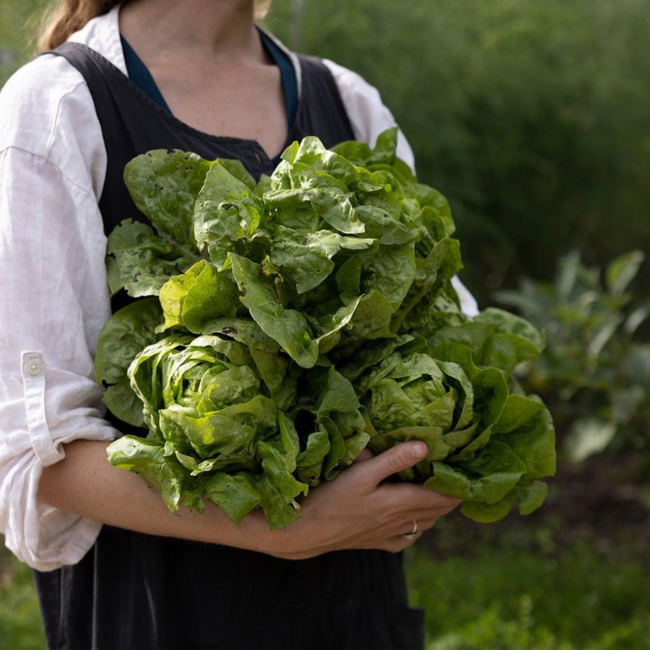 lettuce (butterhead) / Lactuca sativa 'All Year Round'