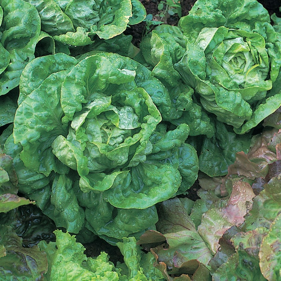 lettuce (butterhead) / Lactuca sativa 'All Year Round'