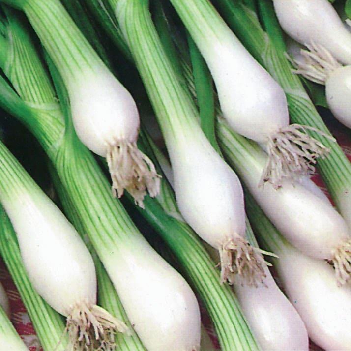 spring onion / Allium cepa 'White Lisbon'