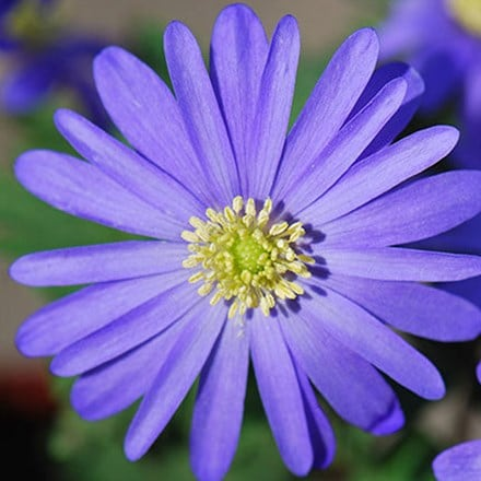 Anemone blanda blue-flowered