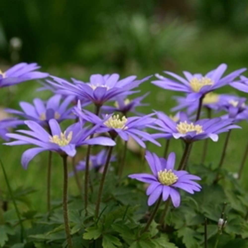 Buy Winter Windflower Blue Flowered Bulbs Anemone Blanda