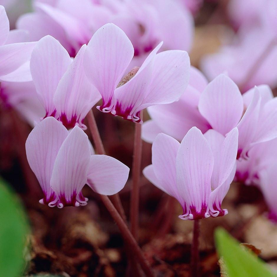 cyclamen bulb (syn. Neapolitanum)