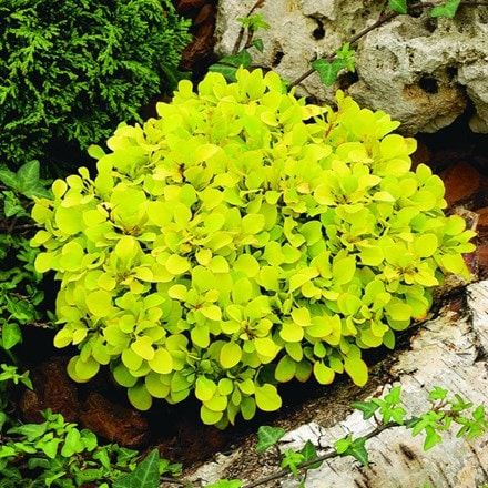 Berberis thunbergii Tiny Gold (PBR)